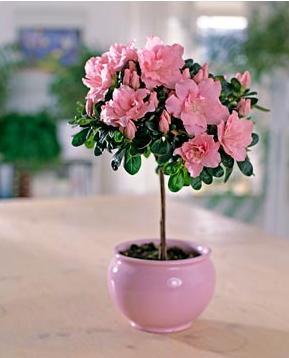 Фото цветов азалия