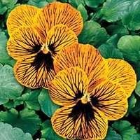 Цветы садовые цветы могут радовать